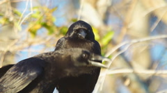 American Crow Vocalization Stock Footage