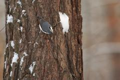 Tits, chickadees, titmice constitute Paridae, a large family of small passerine Stock Photos
