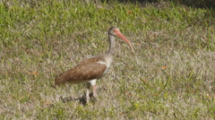 White Ibis in Florida Stock Footage