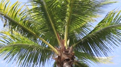 Coconuts palm tree perspective view from floor high up, Myanmar, Burma Stock Footage