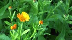 Marigold (Calendula officinalis). Herbal flower blooms. 4K Stock Footage