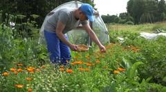 Herbalist man gather marigold calendula herb blooms to wicker dish. 4K Stock Footage