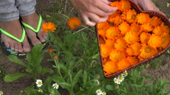 Hands harvest marigold calendula herb flower bloom to heart shape dish. 4K Stock Footage