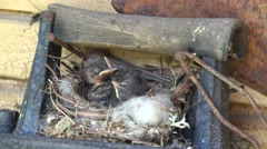 Spotted Flycatcher nestling sit in hay nest outdoor on wall. 4K Stock Footage