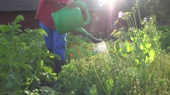 Male watering flower herb marigold in windy evening garden. 4K Arkistovideo