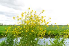 Yellow rapeseed in landscape - stock photo