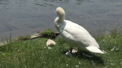 The mother swan Stock Footage