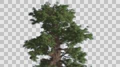 Western Juniper Swaying Top of Tree Coniferous Evergreen Tree Juniperus Stock Footage