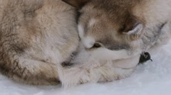 Siberian husky sled dogs rest on the snow in a blizzard in Spitsbergen, Norway. Stock Footage