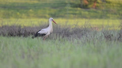 White stork is feeding at sunset in meadow Stock Footage
