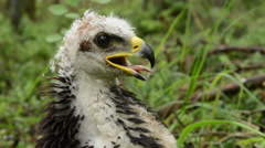 Close up of the juvenile golden eagle Stock Footage