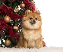 German Spitz sitting in front of a Christmas tree Stock Photos