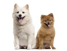 Couple of a Pomeranian and a Spitz, isolated on white Stock Photos