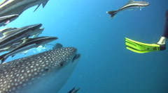 Whaleshark (Rhincodon typus) head with divers Stock Footage