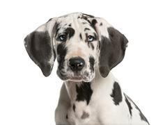 Close-up of a Great Dane puppy in front of a white background - stock photo