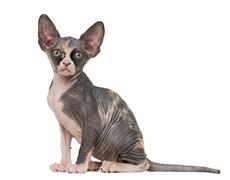 Sphynx kitten looking at the camera, isolated on white - stock photo