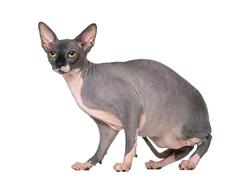 Sphynx sitting and looking away, isolated on white Stock Photos