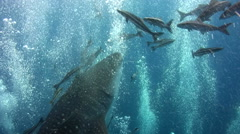 Whaleshark (Rhincodon typus) having jakuzzi - stock footage