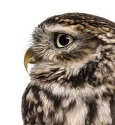 Close-up of a Little owl (Athene noctua)  in front of a white background Stock Photos