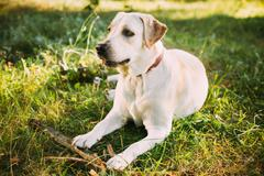 Young Funny White Labrador Dog Sitting In Green Summer Grass Out - stock photo
