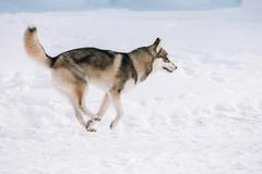 Stock Photo of Young Husky dog play and running outdoor in snow, winter season