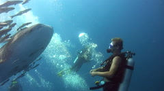 Whaleshark (Rhincodon typus) opening mouth with divers around Stock Footage