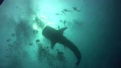 Whaleshark (Rhincodon typus) silhouette with divers Stock Footage