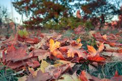 Fallen colorful maple leaves lying on the grass Stock Photos