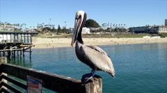Brown Pelican Preening On Pier - 4K Stock Footage
