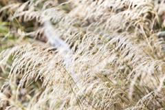 Blurred white grass for backgrounds and compositions Stock Photos