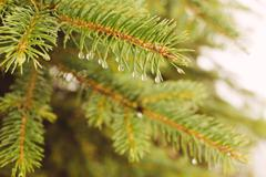 Fir-tree branch with water droplets Stock Photos