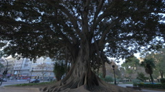 Large and old Ficus tree in a park in Valencia - stock footage