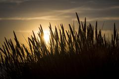 Stock Photo of silhouette of marram grass and sunset