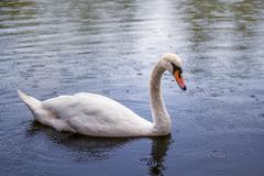 swan swimming in the rain - stock photo