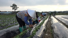 Farmers at work in a strawberry field nearby Shenzhen in rural China Stock Footage