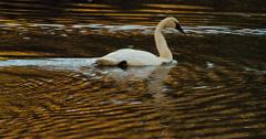 Swan Glides Through Golden Autumn Ripples Slowmo 4K Stock Footage