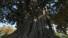 An imposing Moreton Bay Figs in a park in Valencia Stock Footage