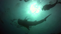Whaleshark (Rhincodon typus) silhouette with divers - stock footage