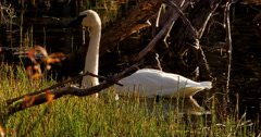 Golden Light Swan and Dragonfly in Autumn 4K - stock footage