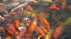 Hungry koi carp, waiting for food, colorful fish, pond, Japanese guarden, China Stock Footage