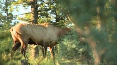 Elk walking in forest, Arkansas, USA - stock footage