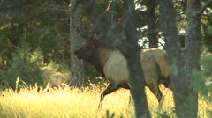 Elk walking in forest, Arkansas, USA - stock footage