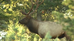Elk looking around and walking in forest, Arkansas, USA - stock footage