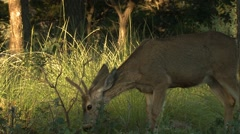 Wild deer grazing in forest, Arkansas, USA - stock footage