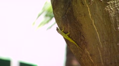 Green lizard crawling on tree trunk, Barbados Stock Footage