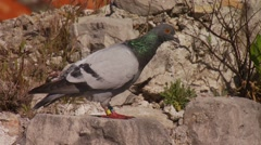 Pigeon standing on rock Stock Footage