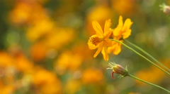 orange cosmos flowers shaking with the wind - stock footage