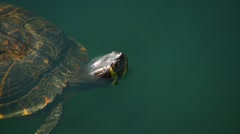 Turtle swimming in pond Stock Footage