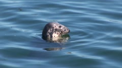 Seal swimming in water Stock Footage