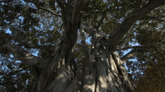 Close up of a Moreton Bay Figs in a park in Valencia Stock Footage